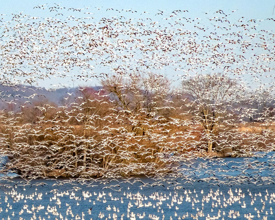 Snow Geese in Synchrony-1